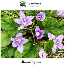 Mandragora autumnalis - Mandrágora - 30 semillas - Seeds