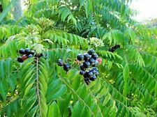 Indian Curry leaves/Curry leaf plant kadi patta murraya  seed's