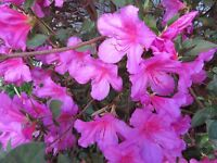 "6+ Evergreen Azalea-Southern Charm UNROOTED 3-5"" Cuttings Bush/shrub instruction"