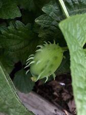 New listing 20 Seeds Achocha Caigua Fat Baby Cucumber Cyclanthera brachystacha Rare Bolivian