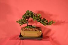 JAPANESE JUNIPER TRADITIONAL BONSAI,7 YEARS WITH FREE SHIPPING.