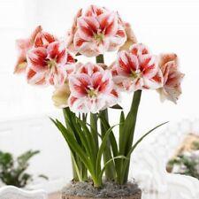 Amaryllis Amaryllises flower 1psc bulb Amaryllis (Hippeastrum) Popov