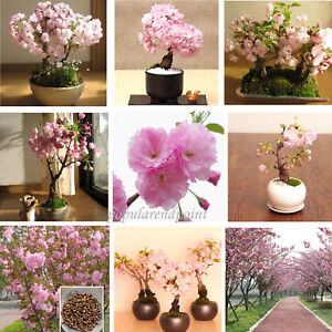 100*Japanese Cherry Blossom Tree Seed Bonsai Blossoms Sakura Flower Seeds Comb