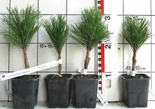 Pinus thunb. ++Mayrima++, japan. Schwarzkiefer-Sorte