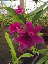 "MILTONIA ""Queen Ann"" Blooming size plants. Stunning purple."
