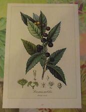 Ancienne Planche Botanique d'après Gaston Bonnier Laurier Sauce