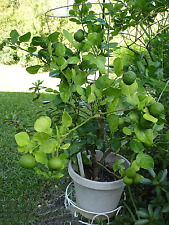 12 pcs Kaffir Lime Tree Seeds Garden Plant Bonsai Seed Potted Plant