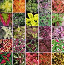 Coleus blumei Rainbow Mix 250 seeds Beautiful Foliage Eye catching CombSH A42