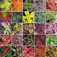 Coleus blumei Rainbow Mix 250 seeds Beautiful Foliage Eye catching CombSH A42