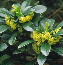 Daphne laureola (5 seeds/graines)