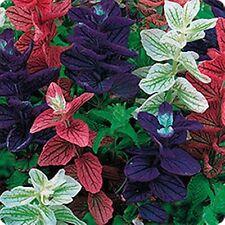 40+ SALVIA TI-COLOR MIX FLOWER SEEDS / PERENNIAL / DEER & DROUGHT TOLERANT