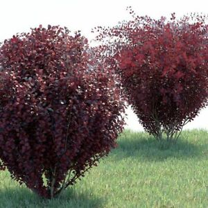 Berberis Thunbergii Atropurpurea Bare Root Dormant Garden Shrub Plant Tree Bush
