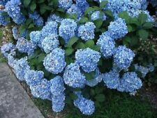 50 Blue Hydrangea Shrub Bush * Seeds * Flower Shubs Farm Garden For Spring