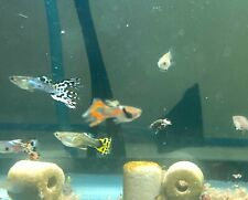 FIVE - Juvenile Mutt Guppies Live! Freshwater Tank & Pond Fish. High Quality