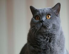Metal Magnet British Blue Shorthair Cat Cats Yellow Eyes Magnet