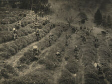 AGRICULTURAL, PICKING TEA, JAPAN. TONED SILVER PRINT.