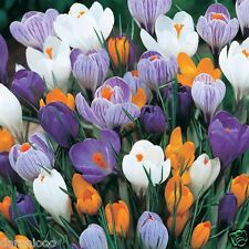 10 CROCUS LARGE FLOWERING GARDENING BULB BEAUTIFUL SPRING FLOWER PERENNIAL NEW