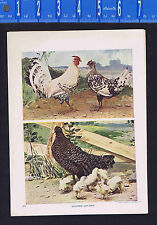 Rooster, Hen & Chicks  - 1900 Nature Print