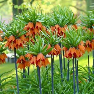 PRE ORDER - Fritillaria Imperialis Aurora - Imperial Fritillary Bulbs 1 3 6 10