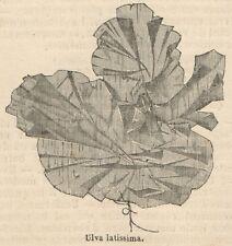 C8303 Ulva latissima - Stampa antica - 1892 Engraving