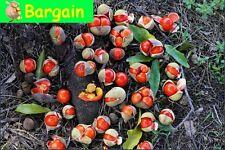 RARE,TAMARIND,WILD APRICOT,Diploglottis campbellii,Fruit Tree,Bush Tucker,Plant