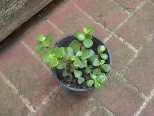 Succulent - Jade Plant - Portulacaria Afra- Money Tree