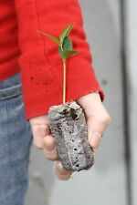 Lot of 3 Osage Orange Trees - Maclura pomifera - starter plugs