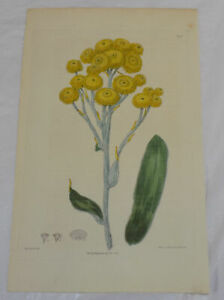 1817 COLOR Floral Print by Edwards/NEW HOLLAND EVERLASTING, or, GNAPHALIUM APICU