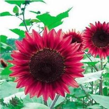 Red Sunflower Seeds Exotic and Rare Garden Plant Seed FREE POST AUSTRALIA