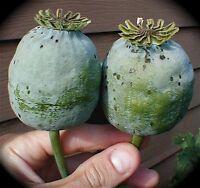 1000 Graines BIO  de Pavot Geant Organic 'Tasmanian Papaver Somniferum' seeds