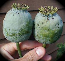 500 Graines BIO  de Pavot Geant Organic 'Tasmanian Papaver Somniferum' seeds