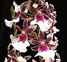 "MILTONIDIUM GOLIATH'S SPIRE 'MAUNA LOA'  WARM GROWING ORCHID PLANT IN 3"" POT"