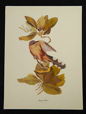 "Vintage 50's Audubon Birds of America 9 x 12""  Print Single Mangrove Cuckoo"