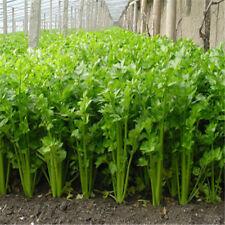 100 Celery Seeds Apium Graveolens Vegetable Organically Grown Heirloom Vegetable