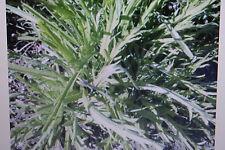 50 Samen Hirschhornwegerich,Minutina,Plantago coronopus#399