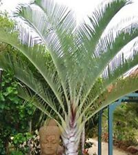 TRIANGLE PALM Dypsis decaryi syn Neoclysis clecayi tropical plant in 200mm pot