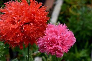 """Papaver laciniatum-paeoniflorum (Poppy) """"FFS Mix"""" x 0.5 gr (app. 1200 seeds)"""