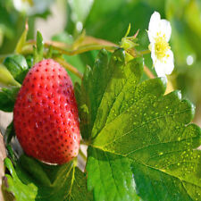 Evie Strawberry Plants, Non Gmo, Buy 2 Get 1