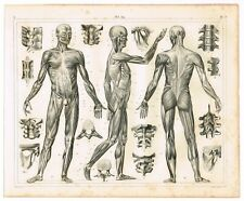 ORIGINAL ANTIQUE PRINT VINTAGE 1851 ENGRAVING ANATOMY MUSCLES & LIGAMENTS 2