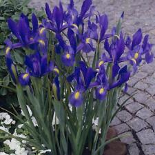 12 Sapphire Beauty dutch summer flowering iris bulbs