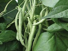 Organic, Bush Blue Lake 274 Green Bean,20ct Heirloom Non-GMO US Grown 2017