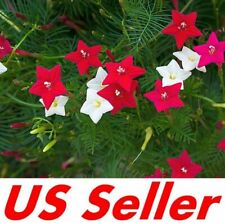 25 Seeds, Cypress Vine Seeds – Mix Colors G51.5
