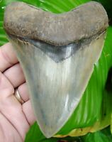 MEGALODON SHARK TOOTH  - OVER 5 & 1/4 in.  SUPER SERRATED - REAL FOSSIL