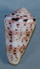 CONUS AURISIACUS 45.18mm SUPER CHOICE SPECIMEN Moluccas Islands, Indonesia