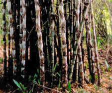 winterhart Garten Saatgut Samen ganzjährig Pflanzen exotisch EISEN-BAMBUS