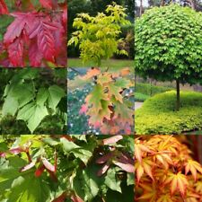 20PCs Maple Tree Seeds Acer 7 Kinds Home Garden Lovely Enchanted Bonsai Plants