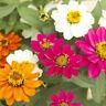 50 Zinnia Seeds Phoenix Mix FLOWER SEEDS