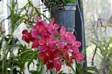 Live Orchid Plant Vanda Rntda Cherry Rose Red Spikes Yellow Center