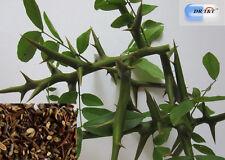 100g erba seccata Zao Jiao Ci ( spino di Giuda cinese)