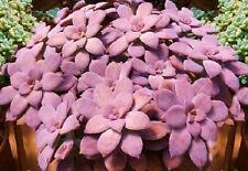 Graptopetalum pentandrum exotic succulent rare mesembs flowering plant 30 SEEDS